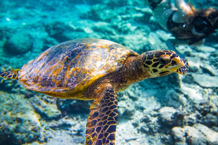 sea turtle in water off gili islands indonesia