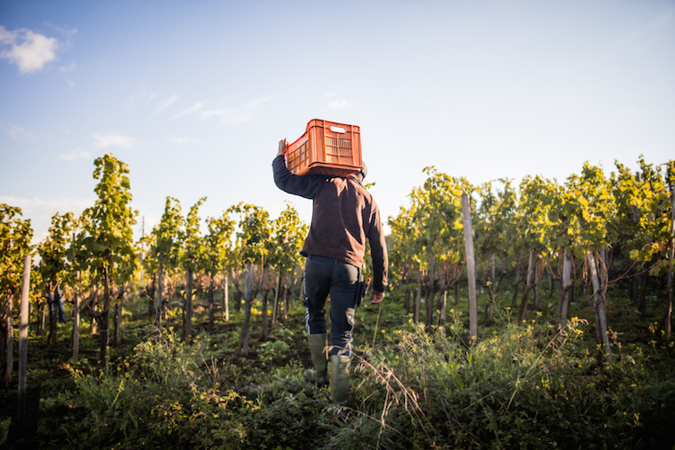 man holding crate amongst vines of winery