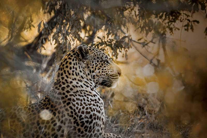 Leopard on safari sri lanka