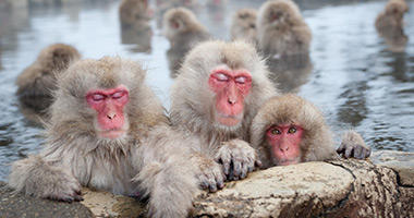 Say Konnichiwa to the Snow Monkeys