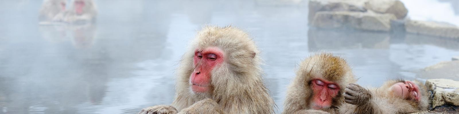 Snow Monkey standing on the edge of outdoor hot spring