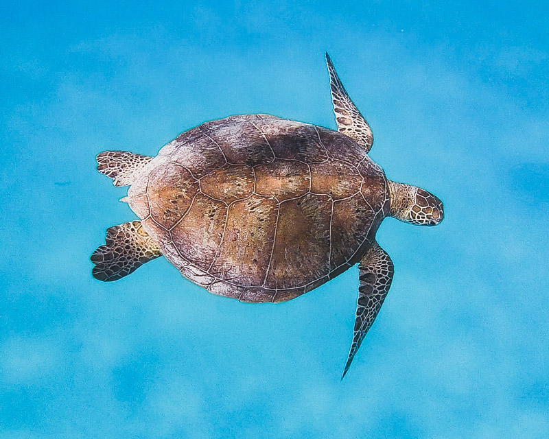 You can see turtles year-round at Lady Elliot Island. Photo: Paula Albers
